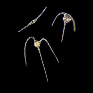 phytoplankton_1